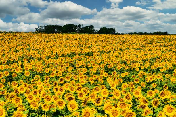 Sunflower Field Landscape stock photo