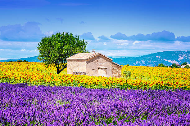 sunflower field over cloudy blue sky Beautiful landscape with sunflower field over cloudy blue sky and bright sun lights provence alpes cote d'azur stock pictures, royalty-free photos & images