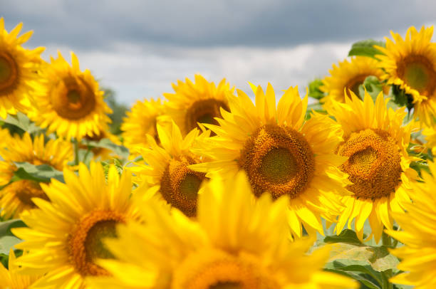 sunflower field - june stock photos and pictures
