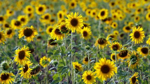Sonnenblumenfeld – Foto