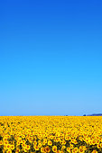 A DSLR photo of a beautiful sunflower field with a blue sky. Lots of space for copy.
