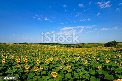 Landscape field of sunflowers