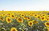 Sunflower field with sky.