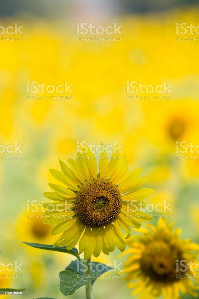 Sunflower field. royalty-free stock photo