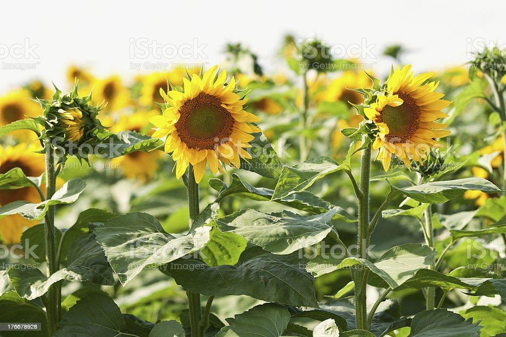 Sunflower Field royalty-free stock photo