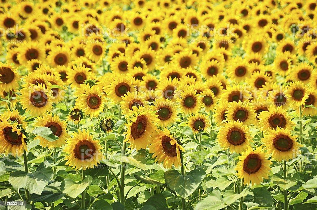 Sunflower (Helianthus) field royalty-free stock photo