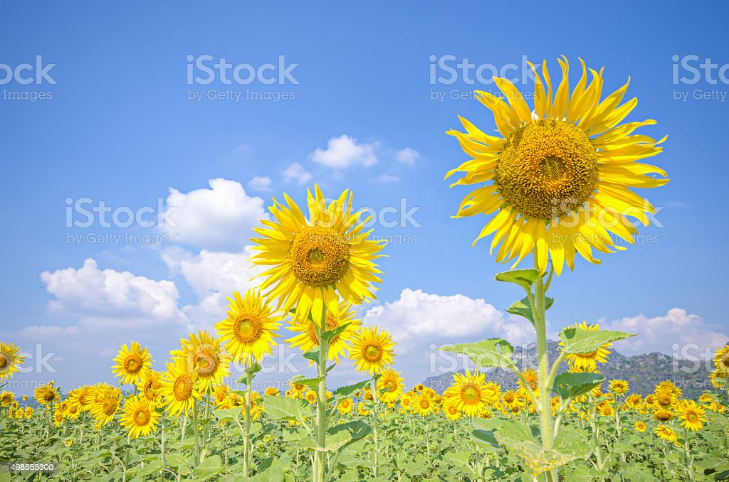 Sunflower field stok fotoğrafı
