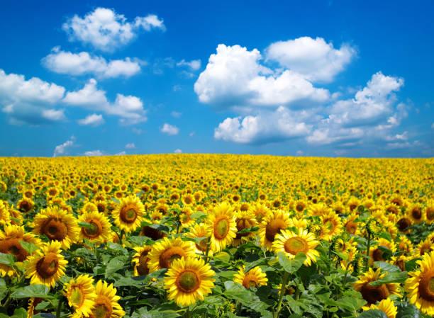 sunflower field 스톡 사진