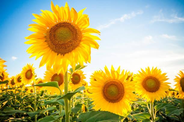 sonnenblume-feld - sonnenblume stock-fotos und bilder