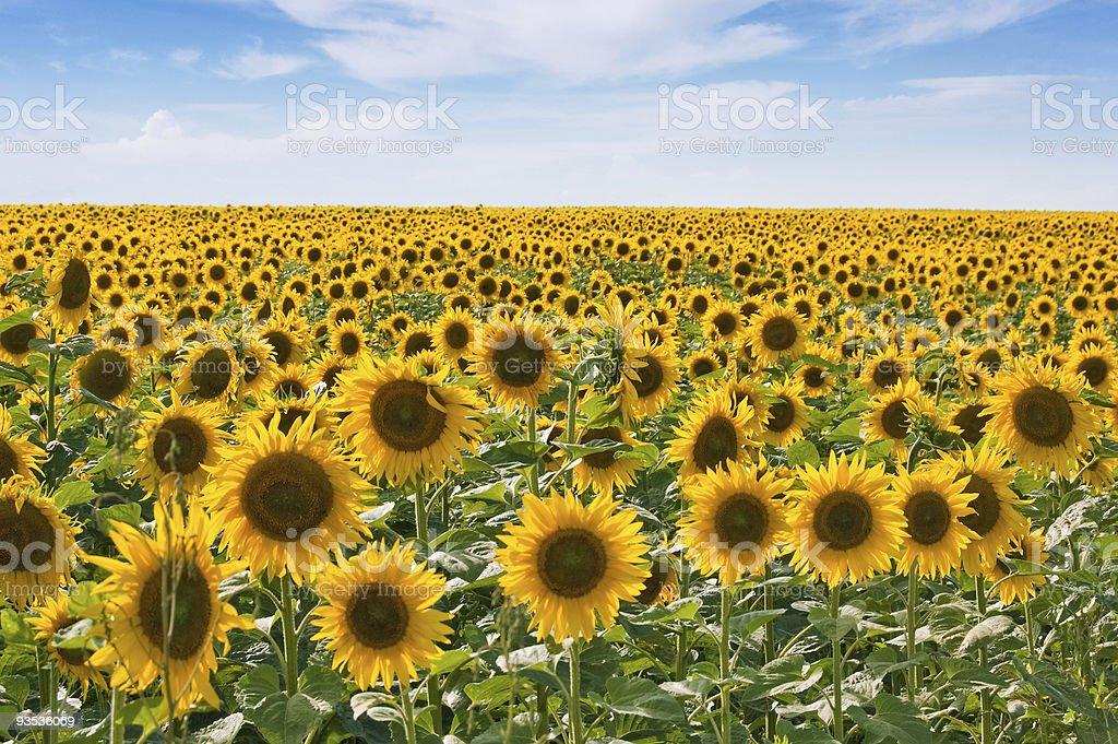 Sonnenblume-Feld – Foto