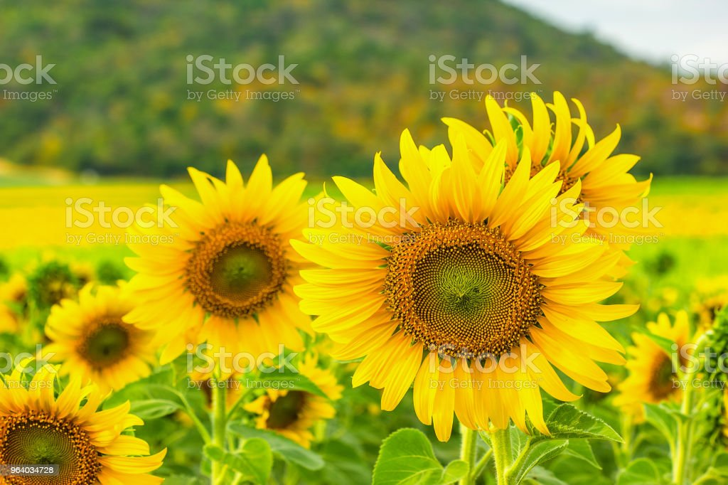 Sunflower field - Royalty-free Agricultural Field Stock Photo