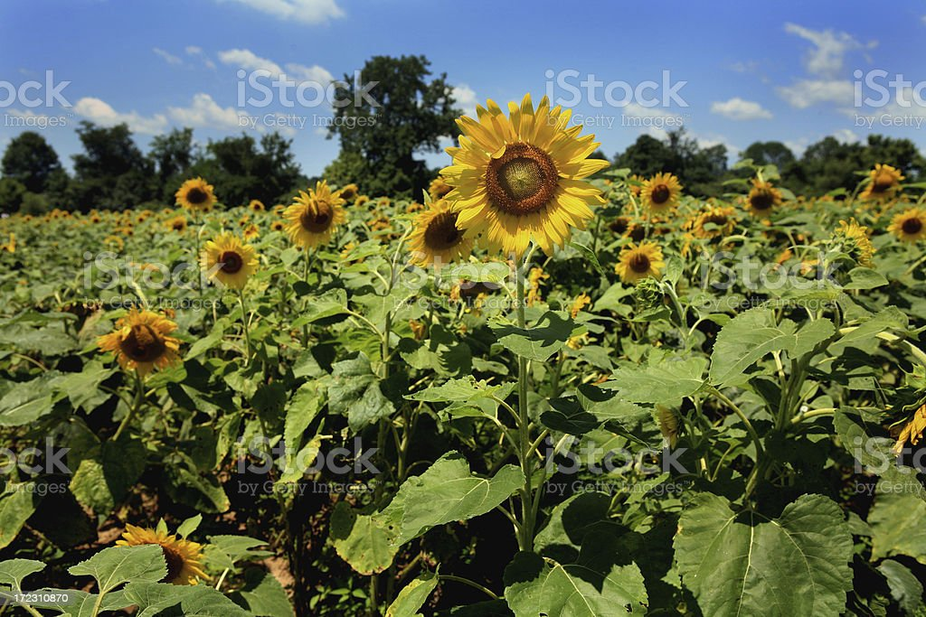 Sunflower Field Provence royalty-free stock photo