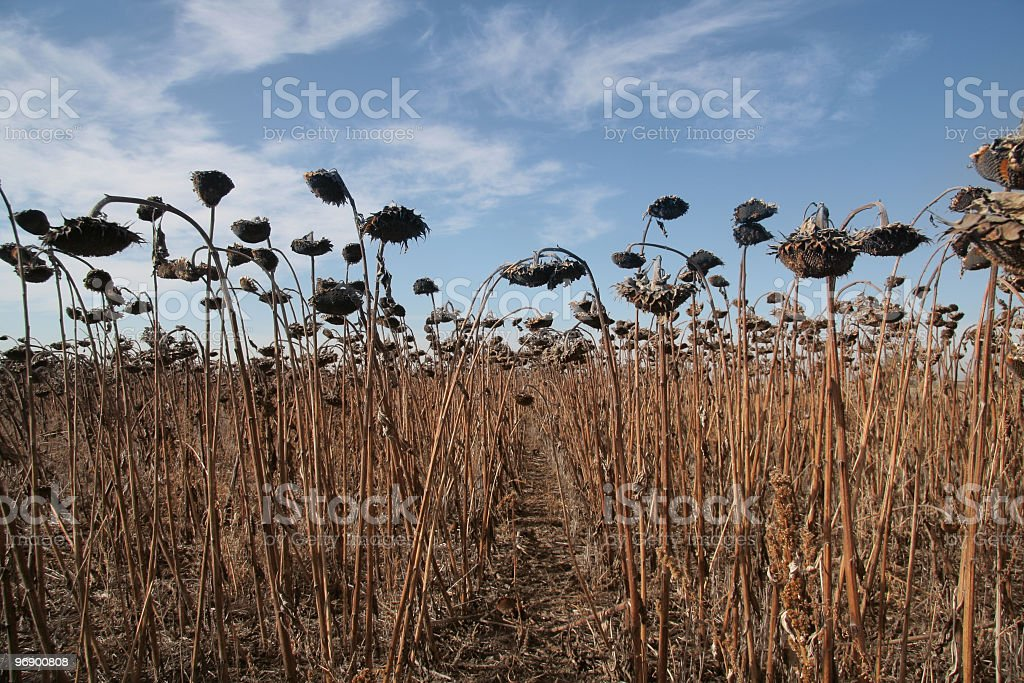 Sunflower Field Ready for Harvest royalty-free stock photo