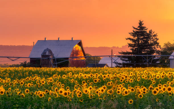 sunflower field south wisconsin sunflower field south wisconsin madison wisconsin stock pictures, royalty-free photos & images