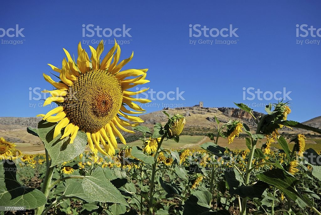 Sunflower field, Teba, Andalusia. stock photo