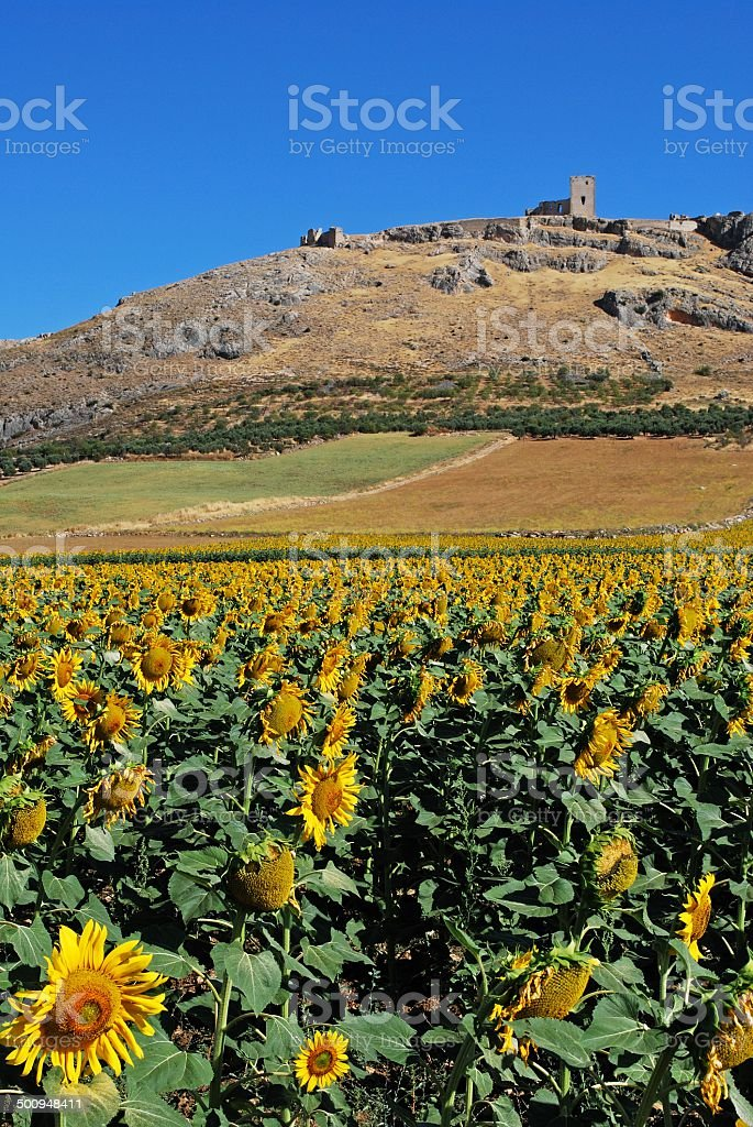 Sunflower field, Teba, Spain. stock photo