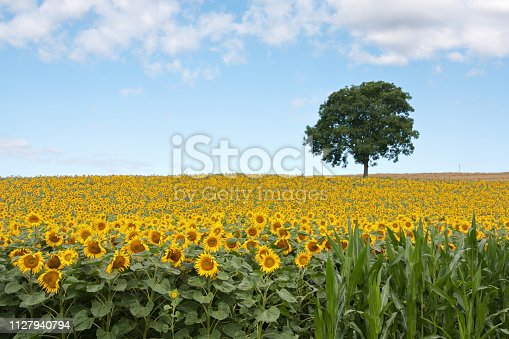 Sunflower field under sunny sky
