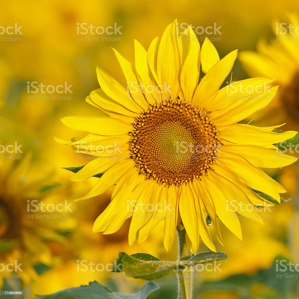 Sunflower field (single flower head) - V royalty-free stock photo