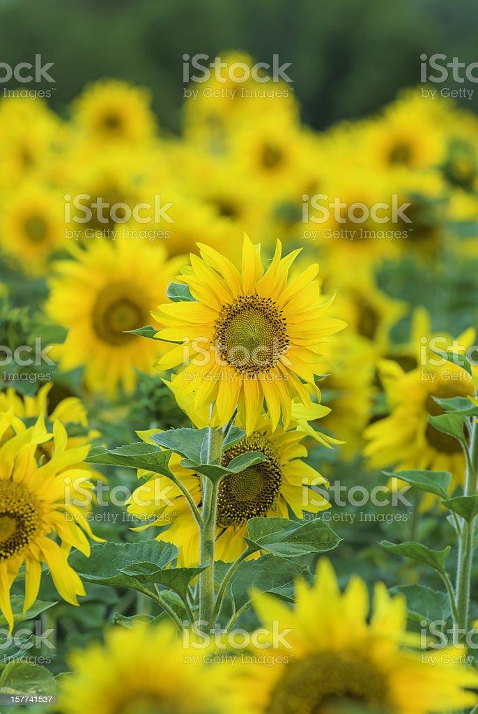 Sunflower field - VI royalty-free stock photo