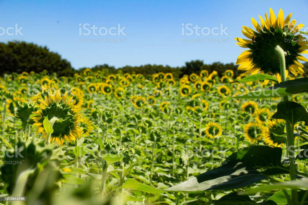 Sunflower Field Which Makes Flowers Bloom Back Side Stock Photo