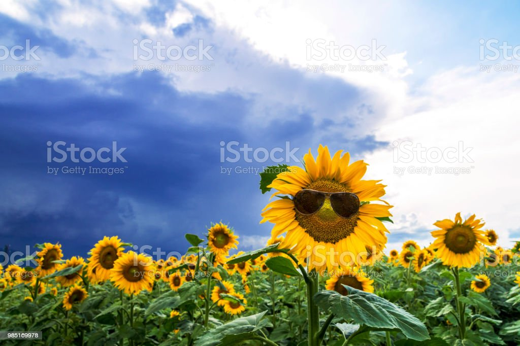 sunflower field with a merry sunflower with sunglasses stock photo
