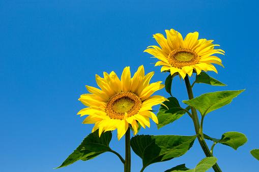 向日葵場與多雲的藍天 照片檔及更多 向日葵 照片
