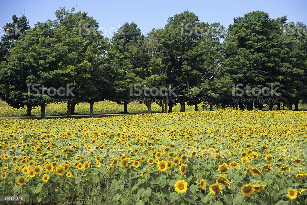 Sunflower Field with trees royalty-free stock photo
