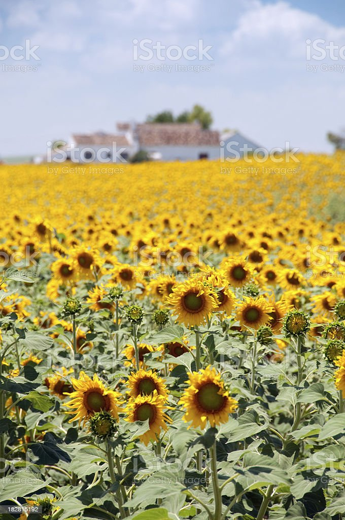 Sunflower fields and spanish house royalty-free stock photo