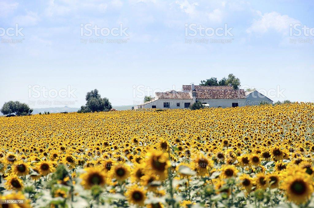 Sunflower fields and spanish house stock photo