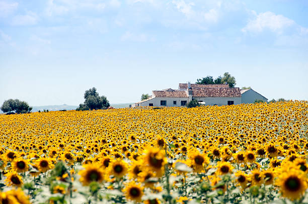 champs de tournesols et de maison espagnole - andalousie photos et images de collection