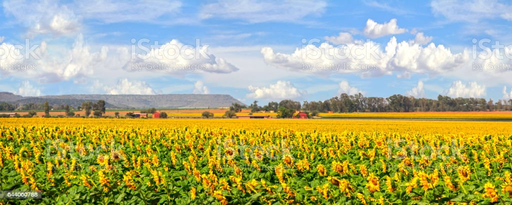 Sunflower fields, clouds and blue skies, Free State farm stock photo