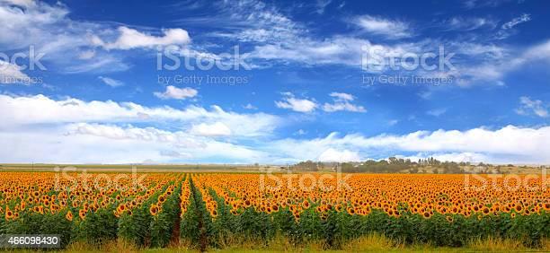 Sunflower fields clouds and blue skies picture id466098430?b=1&k=6&m=466098430&s=612x612&h=v83mehhskqsaqknzkn1y7gwsvtnwxnslfsno0tvwsai=
