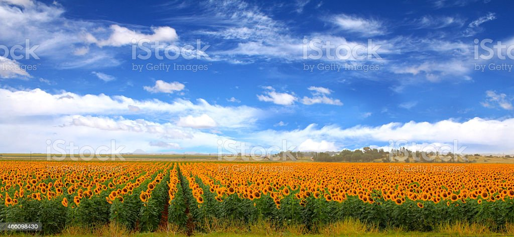 Sunflower fields, clouds and blue skies stock photo