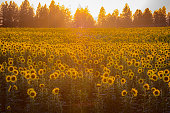 Sunflower fields. Eastern Washington
