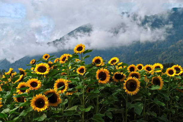 Sunflower fields in full bloom with hills and clouds in the background. stock photo
