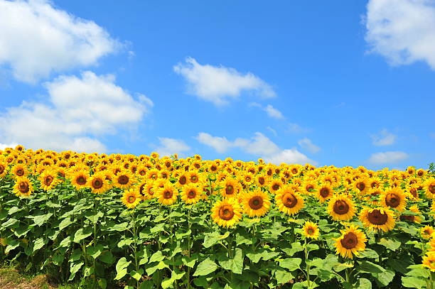 Sunflower Fields in Hokkaido, Japan Sunflower Fields in Hokkaido, Japan satoyama scenery stock pictures, royalty-free photos & images