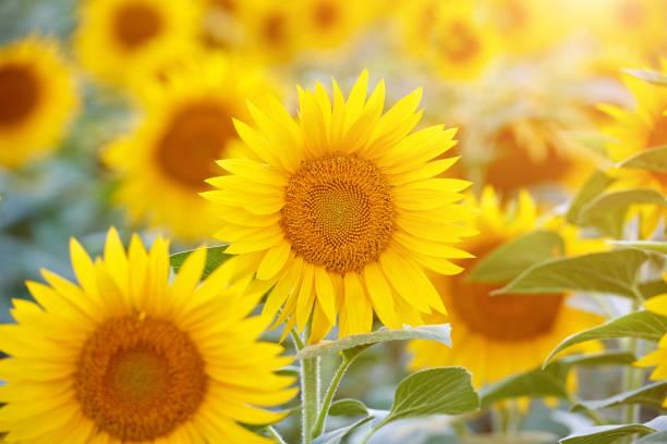 sunflower fields - sunflower zdjęcia i obrazy z banku zdjęć