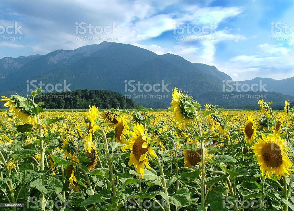 Sunflower fields royalty-free stock photo