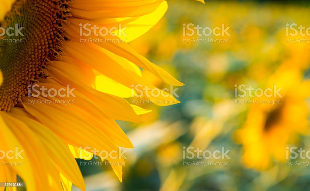 Sunflower Fields stock photo