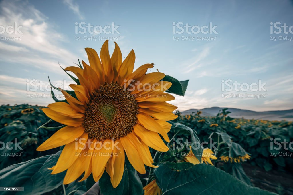 sunflower fields royalty-free stock photo