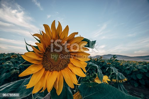 Sunflower Fields Stock Photo & More Pictures of Agriculture