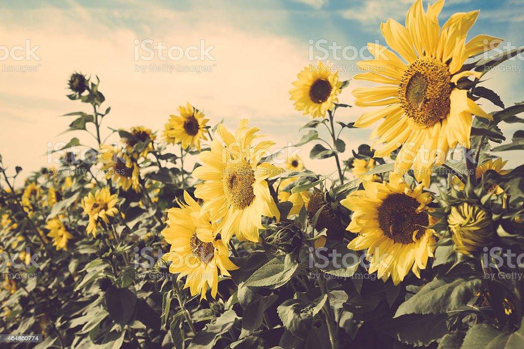 Sunflower Flower Field Vintage Retro Stock Photo ...