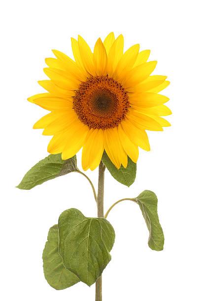 sunflower flower full length - foderblad bildbanksfoton och bilder