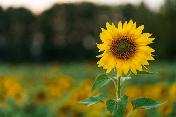 Sunflower flower on a blurry background. Sunflower flower, blurred background of field and trees. Free space for your text. agricultural cooperative stock pictures, royalty-free photos & images