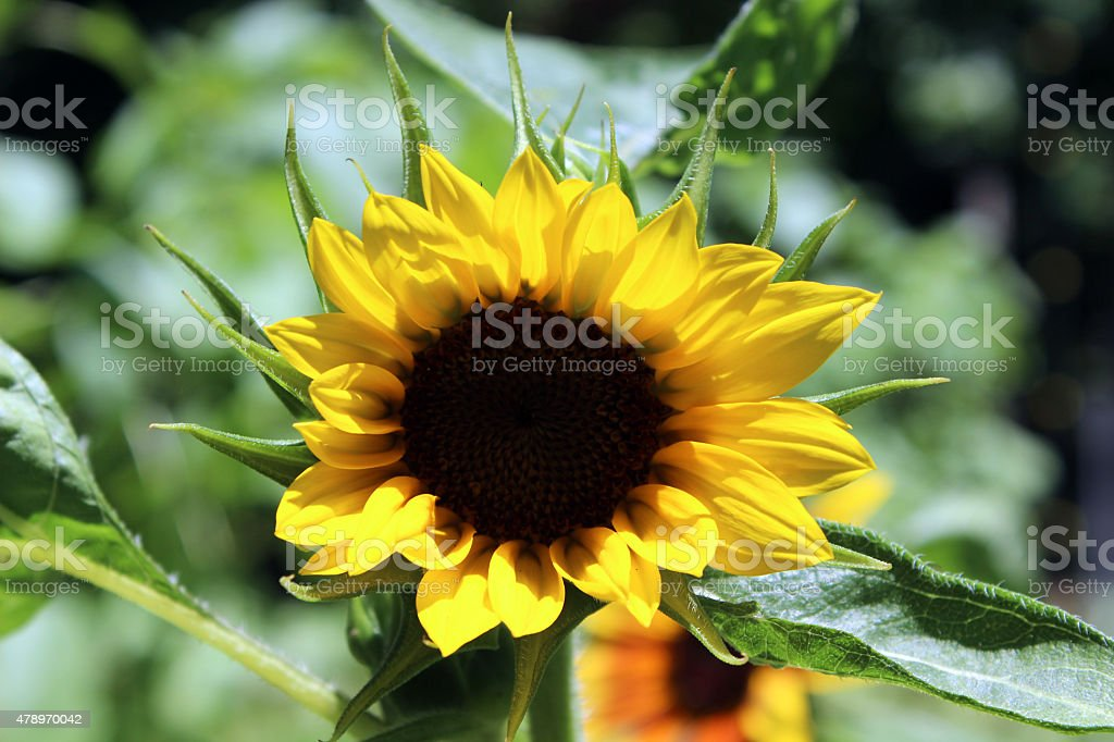 Sunflower Flower Starts to Bloom stock photo
