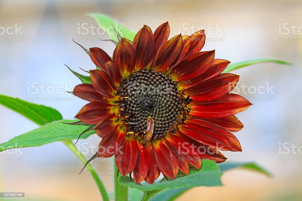 sunflower flowers in a high tech plantation stock photo