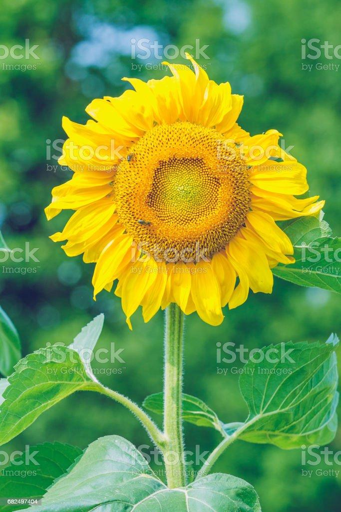Sonnenblume, Garten in Cesis, 2010, Sommer. Lizenzfreies stock-foto