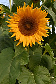 Sunflower garden in shade, vertical