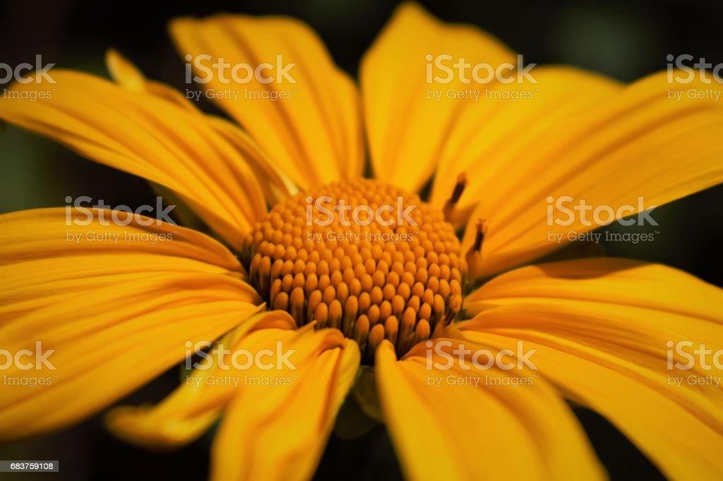 Sunflower - Girassol stock photo