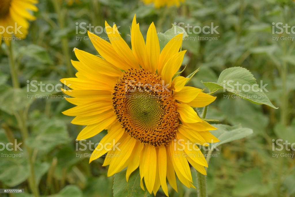 sunflower grows stock photo